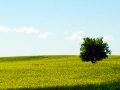 Lone Tree in the Canola Field